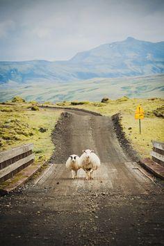 #Ovejas de #Islandia #Iceland siempre de dos en dos