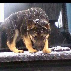 #German #Shepherd #puppy in the #snow