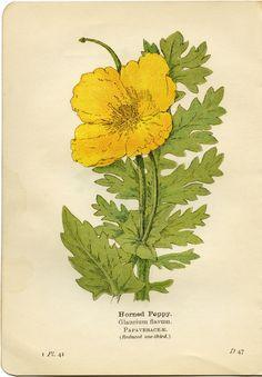 Yellow Horned Poppy