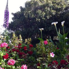 Foxglove, geraniums, calla lillies & snap dragons 5/2012