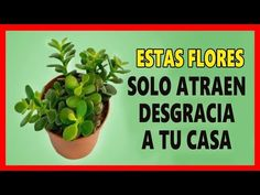 🌿¡ALÉJATE DE ELLAS! Estas 5 PLANTAS Drenan Tu ENERGÍA Como Los Vampiros - YouTube Zodiac Mind, Fruit Garden, Succulents Garden, Feng Shui, Indoor Plants, House Plants, Farmer, Planter Pots, Remedies