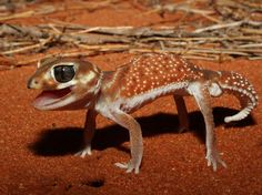 This is a Western Smooth Knob-tailed Gecko, making itself look bigger in a defensive display. At only a few inches long, it doesn't seem very frightening, but these little fighters won't hesitate to hiss and snap at any potential threats.