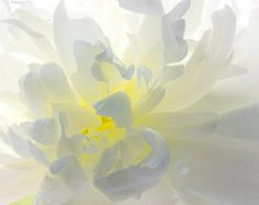White Peony  Photograph, Floral Art Print, Flower Wall Decor, White and YellowFlower