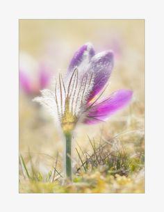https://flic.kr/p/FfiLPJ | Finally | My fav flower, Pasque flower,  longed for!!   Wish you a new lovely week.  Texture: My own