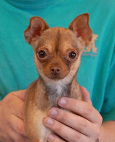 Sparkle is a 4-pound peanut, a teeny-tiny young girl with a big personality, and she is debuting for adoption today at Nevada SPCA (www.nevadaspca.org).  She is a Chihuahua with cute, bat-like ears, about 2 years of age and spayed.  Sparkle enjoys other dogs and she is drawn to gentle, soft-spoken people.  Please take extra precautions for her safety in your home and yard.  Sparkle was found on the streets, where she could not have survived for long on her own.