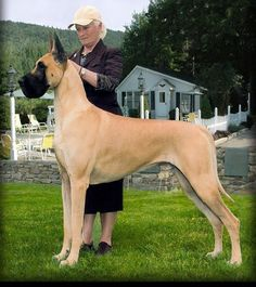 The Great Dane combines, in its regal appearance, dignity, strength and elegance with great size and a powerful, well-formed, smoothly muscled body. It is one of the giant working breeds, but is unique in that its general conformation must be so well balanced that it never appears clumsy, and shall move with a long reach and powerful drive. The Great Dane is a short haired breed with a strong galloping figure.