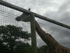 Marwell Zoo Marwell Zoo, Down South, Giraffe, Places To Go, Things To Do, Animals, Things To Make, Felt Giraffe, Animales