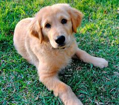 Has a special place in my heart as this was the same breed of dog I had as a child- Golden retriever