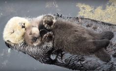 Precious Moments: Day Old Sea Otter Pup Catches A Nap On Floating Mom's Belly