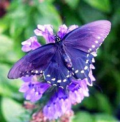 Butterfly Quotes, Butterfly Pictures, Butterfly Flowers, Flower Pictures, Cool Insects, Bugs And Insects, Purple Love, All Things Purple, Beautiful Bugs