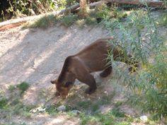 Orso bruno, simbolo della città di BERNA capitale della Svizzera. Si possono vedere nel parco a loro dedicato sempre a BERNA.