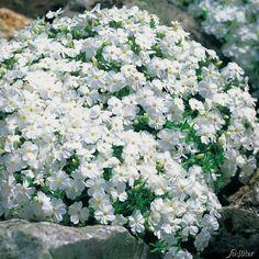 Was für eine vielseitige Staude.Der weiße Polsterphlox hat keine hohen Ansprüche an den Boden und ist deshalb an vielen Orten einsetzbar, wie zum Beispiel in Steingärten oder sogar in Mauerritzen. Im Winter bleibt der winterharte Polsterphlox belaubt, das filigrane Blattwerk verfärbt sich dabei bräunlich.Der weiße Polsterphlox wirkt besonders hübsch vor Hauswänden oder auch zwischen dunkleren Pflanzen im Steingarten. Auch in Kombination mit anderen Polsterphlox-Farben, bietet die weiße…