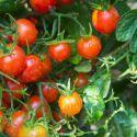 Consejos para cultivar tomates cherry - Hogarutil