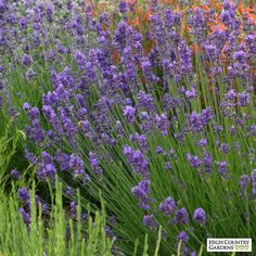 Munstead Violet English Lavender: This new selection of Lavender has some of the darkest colored flowers you'll ever see. Lavandula angustifolia 'Munstead Violet' (Munstead Violet English Lavender) has dark blue calyxes and outstanding violet-blue corollas over nice silver-gray foliage. Drought resistant/drought tolerant plant (xeric).