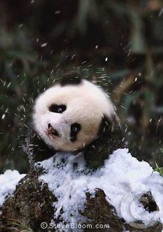 a giant panda baby is one of the smallest mammal newborn relative to its mother's size. Baby pandas stay with their mothers for one and a half to three years. At breeding centers, of baby pandas can survive nowadays. Panda In Snow, Panda Love, Cute Panda, Cute Baby Animals, Animals And Pets, Funny Animals, Beautiful Creatures, Animals Beautiful, Photo Panda