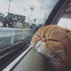 Exotic Shorthair Cat Are we there yet? Cute Baby Animals, Animals And Pets, Funny Animals, Cute Kittens, Cats And Kittens, Kitty Cats, Cute Cat Memes, Cat Aesthetic, Japanese Aesthetic