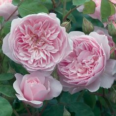 There is nothing like a David Austin rose. Wisley - introduced in 2008