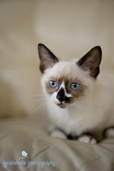 snowshoe siamese | The new little guy of the house!