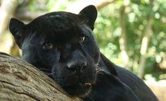 Black Panther (i.e. a melanistic