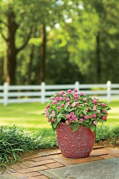Container Gardening Ideas 108 Container Gardening Ideas: Meet Miss Lantana - Enjoy nonstop color all season long with these container gardening ideas and plant suggestions. You'll find beautiful pots to adorn porches and patios. Potted Plants Full Sun, Potted Geraniums, Full Sun Container Plants, Plants That Love Sun, Flowering Plants, Outdoor Plants, Outdoor Gardens, Outdoor Patios, Outdoor Flowers