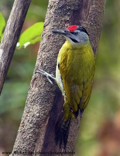 Grey-headed Woodpecker   ( Picus canus )   by gary1844, via Flickr