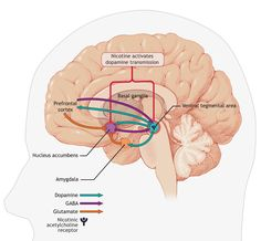 figure 1 areas in the brain involved in nicotine addiction nicotine ...