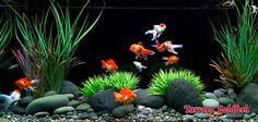 Goldfish aquarium TarracoGoldfish