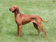 Originating in Hungary, the Hungarian Vizsla was also known as the Hungarian Pointer or the Magyar Pointer. The Vizsla, once established as a breed, was used almost exclusively by nobility for falconing and hunting. Havanese Puppies, Vizsla Puppies, Weimaraner, Vizsla Dog, Goldendoodle, Zara Home, Great Dane Funny, Wirehaired Vizsla, Plushies