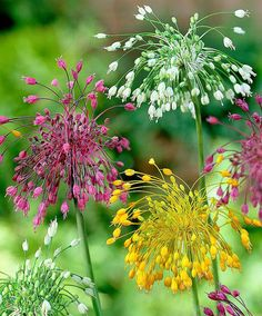 Allium flavum, carinatum and carinatum 'Album'