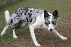 Beaucerons blue merle - Google Search