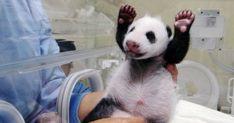 """台湾の台北動物園に7月、パンダの赤ちゃんが生まれた。 台北市立動物園のパンダ「円円」が先月出産した雌の赤ちゃんパンダの愛らしい姿が市民の話題をさらっている。安全のため飼育員の手で保育されているが、12日には出産後初めて母親と対面し、13日には初抱っこと授乳の様子の映像が公開された。 (MSN産経ニュース「赤ちゃんパンダに""""萌"""" 台湾、「反則的なかわいさ」」より) 病気や母親に踏み潰されるのを防ぐた..."""