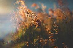 by Pablo Reinsch / Bokeh Photography, Out Of Focus, Dandelion, Explore, Flowers, Fotografia, Dandelions, Taraxacum Officinale, Royal Icing Flowers