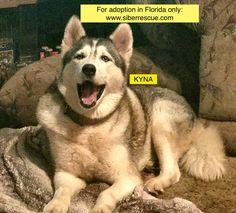 #Florida #Siberian #Husky KYNA for #adoption in #FL only: http://www.siberrescue.com/