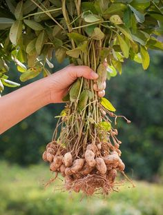 Aus botanischer Sicht ist die Erdnuss keine Nuss, sondern eine Hülsenfrucht, die bei uns auch im Topf angebaut werden kann. So klappt es mit der eigenen Erdnussernte. #erdnuss