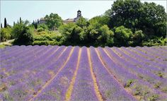 Lavendelfeld - Lavendelfeld