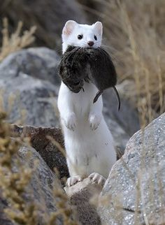 I love weasels!!!