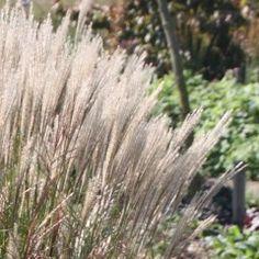 Miscanthus sinensis 'Jaku Jima' - Prachtriet