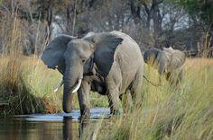 Elephant, Camp Moremi, Botswana