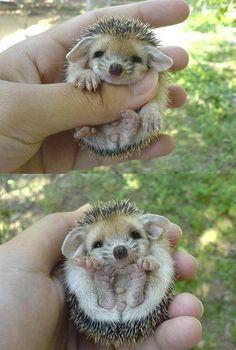 headgehogs!!!  Sooo cute!