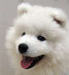 "Samoyed eyes are usually black or brown and are almond in shape. Blue or other color eyes can occur but are not allowed in the show ring. It is in the ""brown and black section"" in its family, the Spitz family."