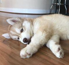 Adorable husky puppy