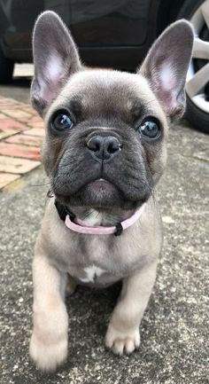Cute Little Puppies, Cute Little Animals, Cute Dogs And Puppies, Cute Funny Animals, Doggies, Cute French Bulldog, French Bulldog Puppies, French Bulldogs, French Bulldog Pictures