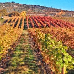 Agate Ridge Vineyards in southern Oregon on a beautiful fall day