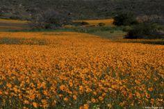 Fields of orange. Black Letter, August 2014, South Africa, Fields, Bloom, Country Roads, Orange, Garden, Flowers