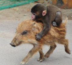 riding on a pig, baby monkey Unusual Animal Friendships, Unlikely Animal Friends, Unusual Animals, Baby Animals, Funny Animals, Cute Animals, Primates, Bergen, Cute Monkey