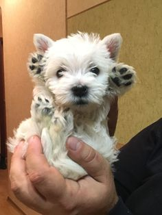 Those tiny paws! Those tiny paws! Those tiny paws! Westies, Westie Puppies, Cute Puppies, Doggies, Le Terrier, White Terrier, Terriers, Cute Baby Animals, Animals And Pets