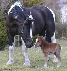 Gypsy vanner and mini horse