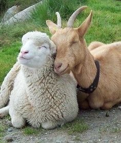 This adorable goat loves his smiling sheep very much.