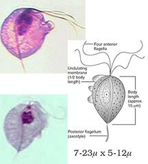 Parasitology Class ID Pictures-Names only flashcards | Quizlet