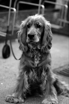 This cocker is what Tucker is going to look like when he is older ¦) EXCEPT with shorter fur!!